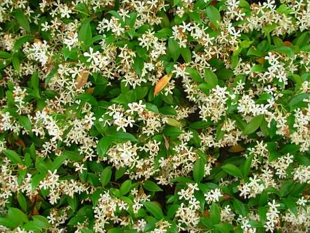 Jasmine Plant-jasmine-plant-care