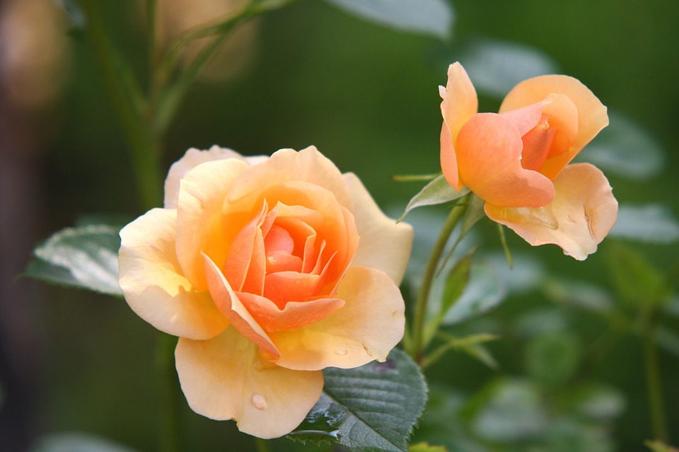 Peach rose plant bloom-neem-oil-for-plants