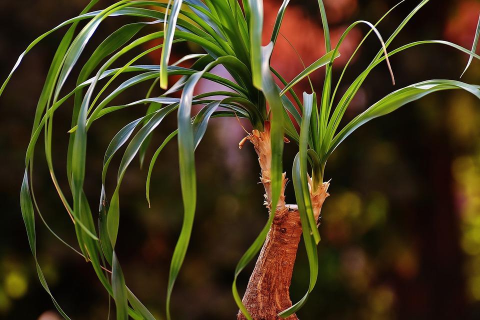 Ponytail Palm-ponytail-palm-care