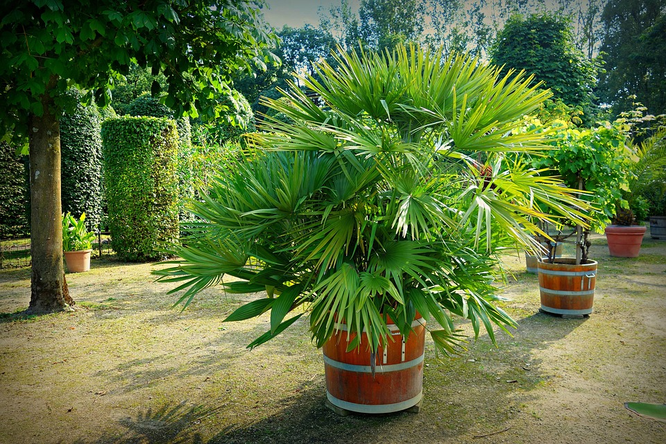 Rhapis Excelsa-how-to-care-for-a-lady-palm