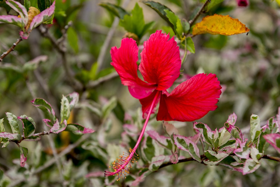 Red Hot Hibiscus-red-hot-hibiscus-care