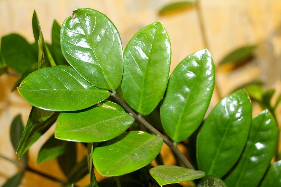 ZZ Plant-zz-plant-care