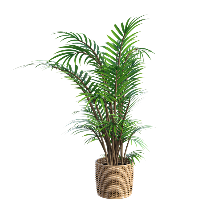 A fern in a basket-how-to-grow-ferns
