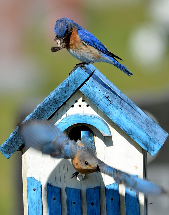 BlueBirds-attracting-blue-birds-to-your-yard