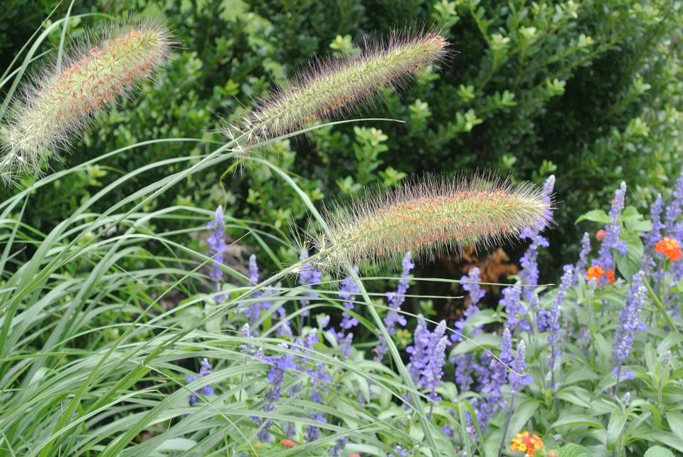 Dwarf Fountain Grass-hameln-dwarf-fountain-grass