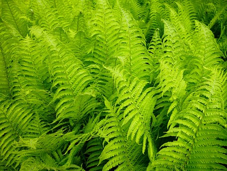 Ferns-how-to-grow-ferns
