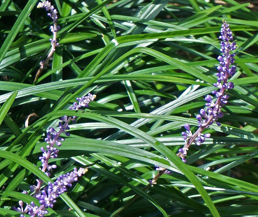 Liriope-caring-for-the-liriope