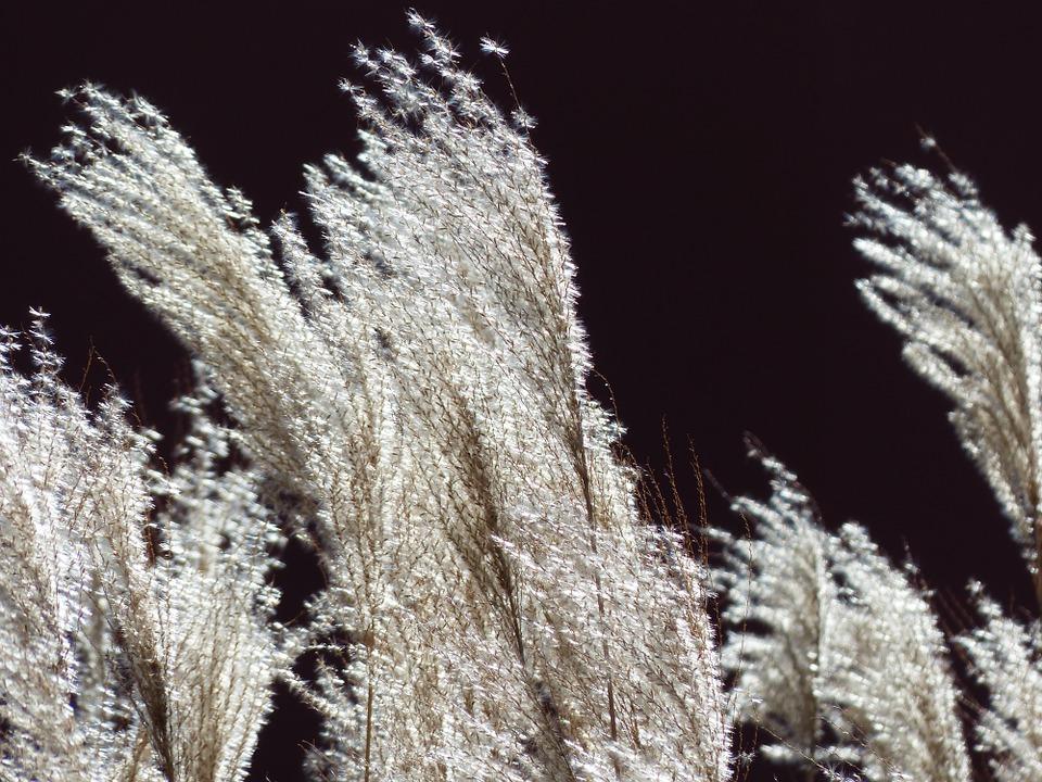 Miscanthus-miscanthus-plant-care