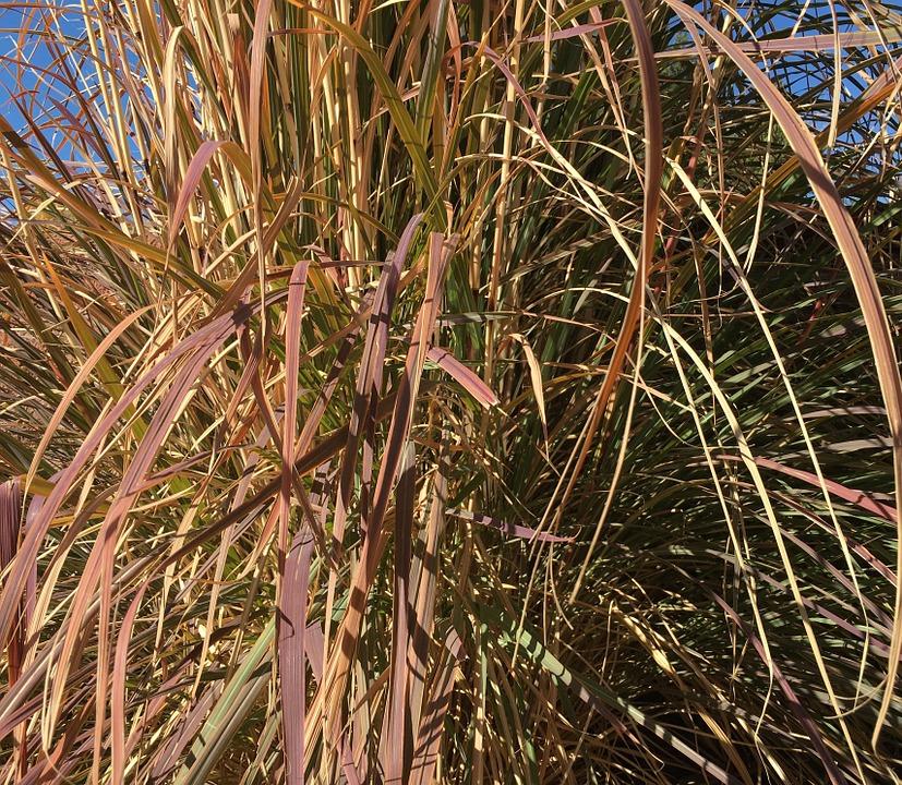 Purple Grass-purple-fountain-grass-care