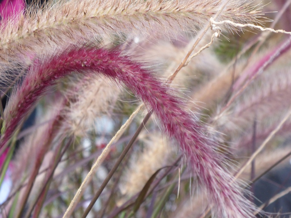 Red Fountain Grass-red-fountain-grass-care