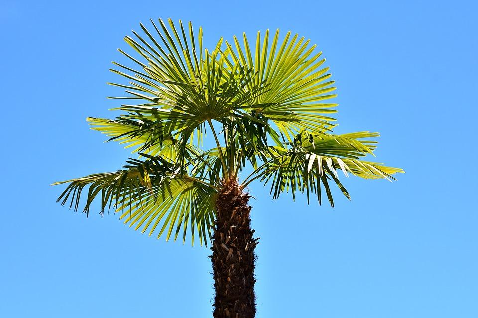 Washingtonia Robusta-washingtonia-robusta-care