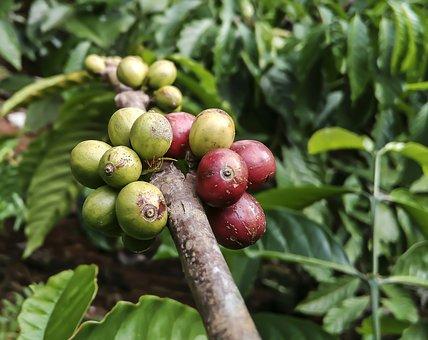 Coffee Plant-coffee-plant-care
