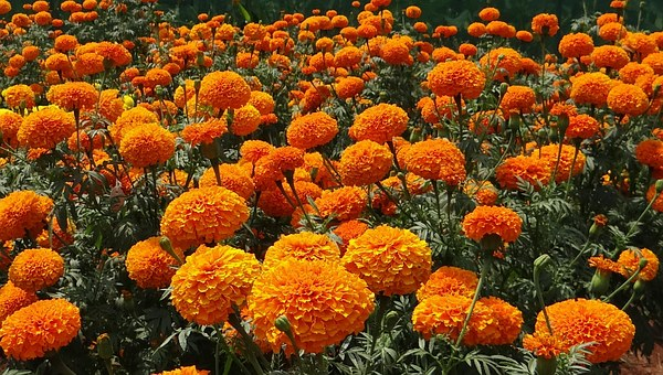 Orange Marigolds-how-to-plant-and-care-for-marigolds