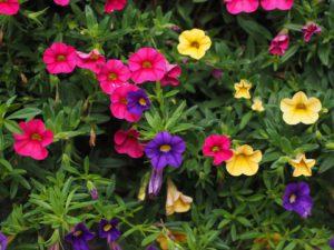 Flowers That Attract Hummingbirds-purple-pink-yellow-petunias