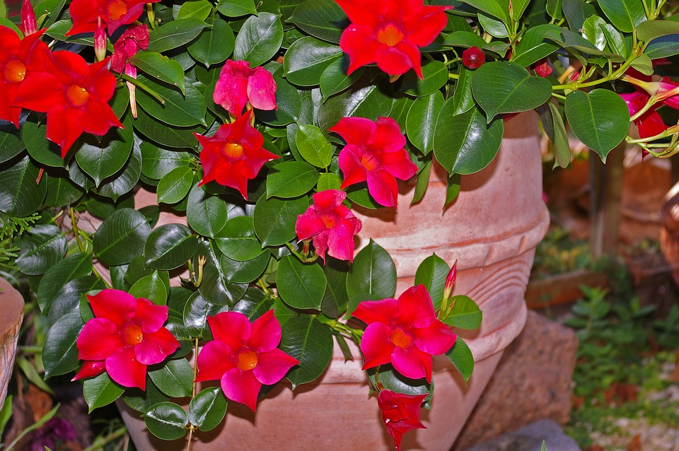 Potted Mandevilla -growing-mandevillas-indoors