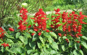 Flowers That Attracts Hummingbirds-red-salvia-flowers
