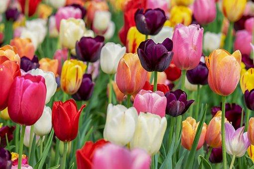 Tulips-tulip-plant-care