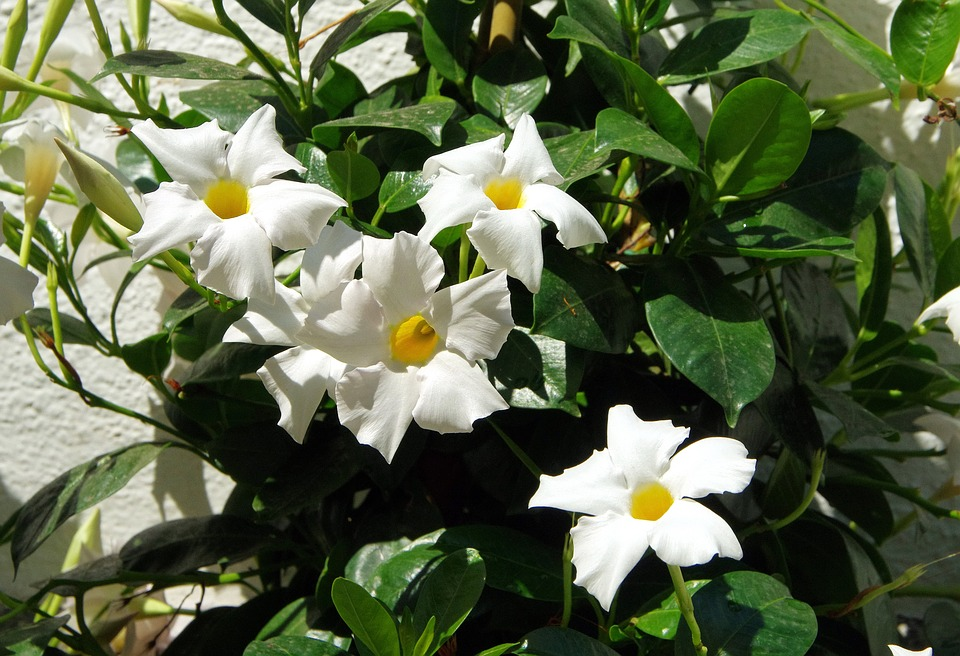 White mandevilla vine-growing-mandevilla-indoors