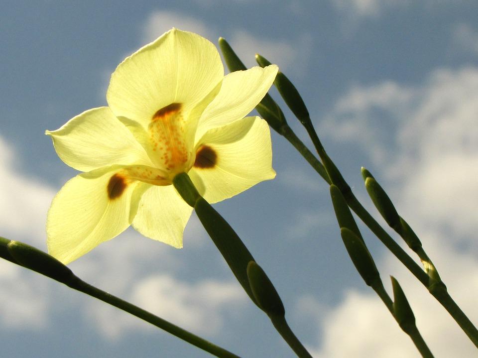 African Iris-african-iris