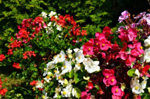 Flowering That Attracts Hummingbirds-begonia-flowering-plants