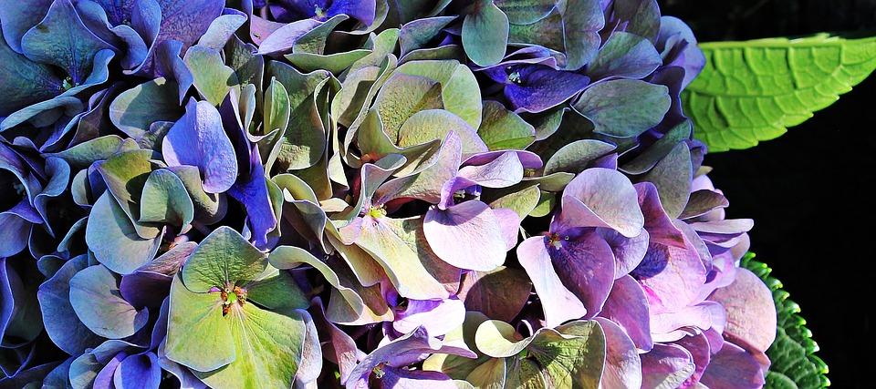 Hydrangea Cluster-hydrangea-plant-care