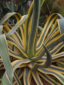Yellow Stripped Agave-agave-plant-care