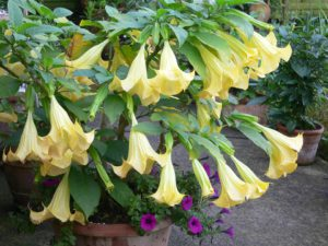 Yellow Angle Trumpet-fragrant-flowers