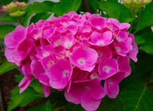 Using Coffee Grounds In The Garden-hydrangeas