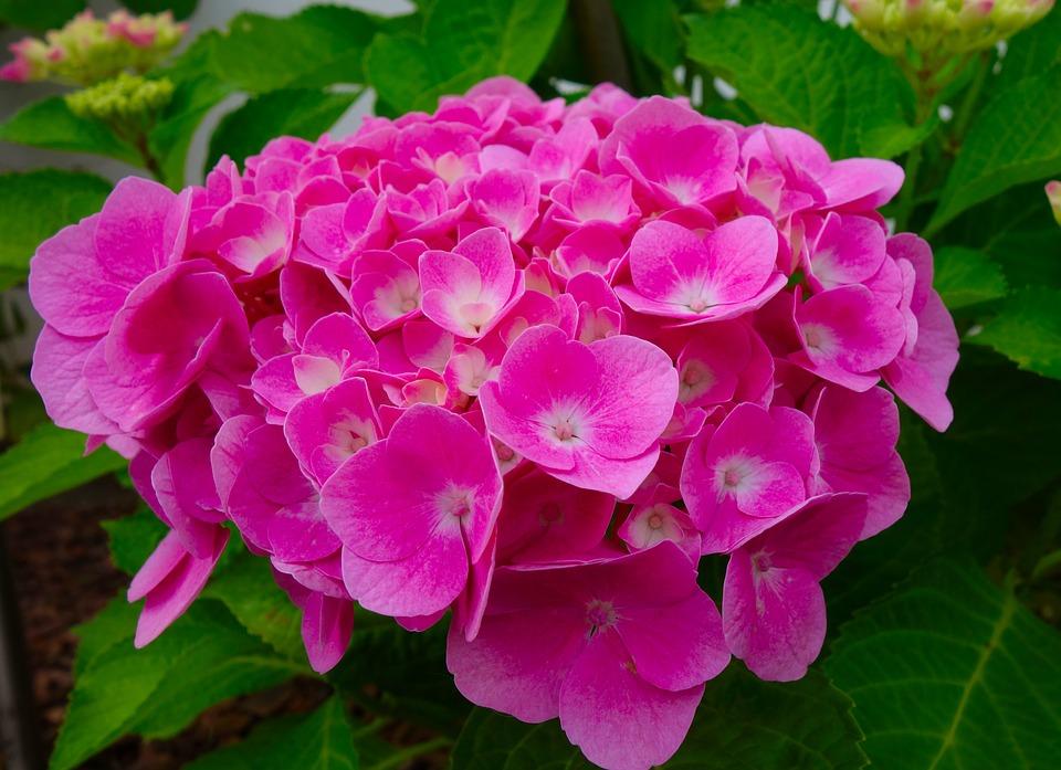 Hydrangeas-hydrangeas-plant-care