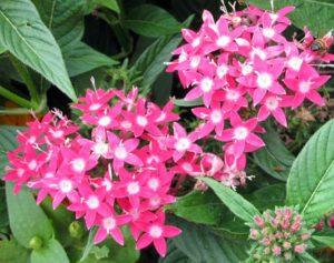 Flowers That Attracts Hummingbirds-pink-pentas-flowering-plants