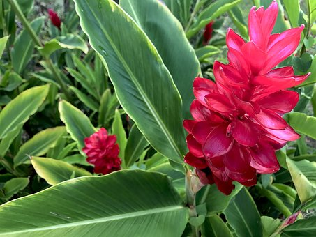 Red Ginger Plant-caring-for-ginger-plants