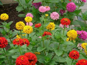 How To Make Money Growing Flowers-zinnia-flowers