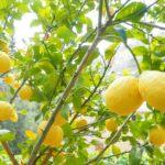 A lemon Tree-forcing-a-lemon-tree-to-flower