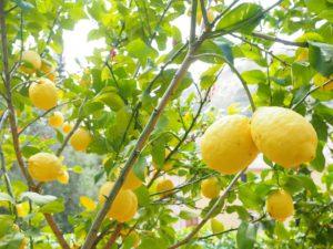 Growing Trees In Pots-a-lemon-tree