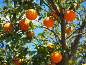 Growing Trees In Pots-a-orange-tree