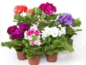 Flower ContaineIdeas For Full sun-primeroses-in-flower-pots