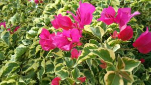 Bougainvillea Flowers-campanion-planting-with-flowers