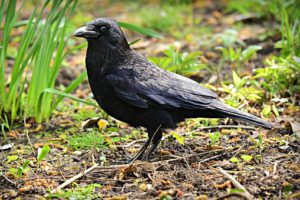 How To Keep Birds From Eating Grass Seeds-a-black-crow