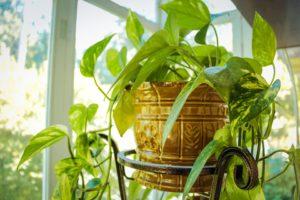 Small Indoor Garden Ideas-pothos-vine