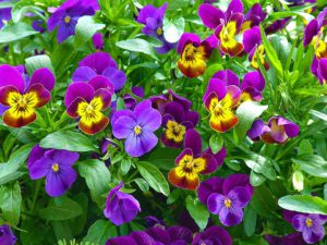 Pansies-gardening-can-help-you-to-live-to-100