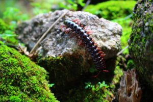 Black Centipede-how-to-get-rid-of-centipede-in-the-garden
