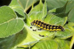 7 Vegetable Garden Care And Maintenance Tips-a-caterpillar-on-plant-leaves