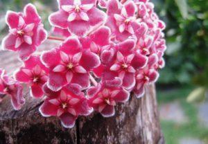 Hoya Flowers-hoya-plant