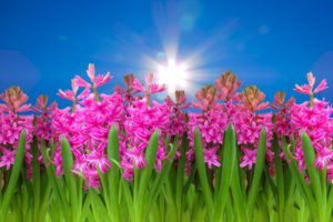 Hyacinth-fragrant-flowers