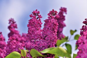 Lilacs-how-to-get-lilacs-to-bloom
