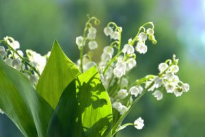 Lily of the Valley-fragant-flowers