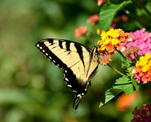 Swallowtail-how-to-kee-caterpillars-out-of-the-garden