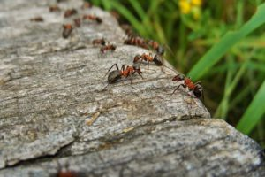 Ants-how -to-get-rid-of-ants-in-the-garden