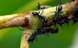 Black Ants-how-to-get-rid-of-ants-in-the-garden
