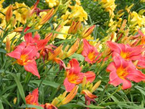 Daylily-care-of-daylilies-plants